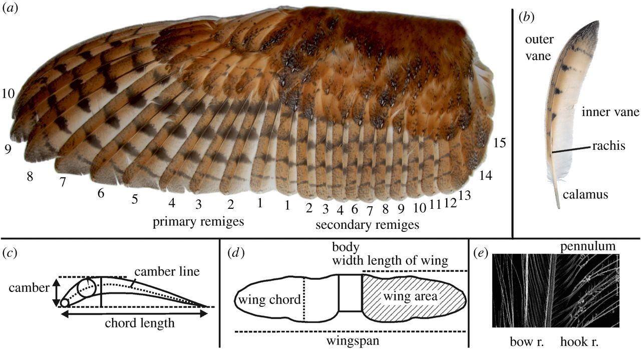 Features of owl wings that promote silent flight ...