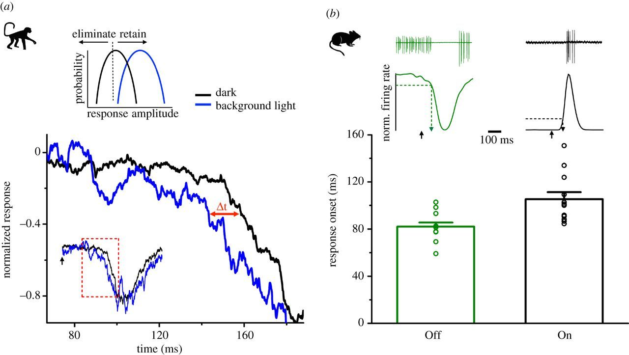 Processing of single-photon responses in the mammalian On and Off