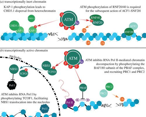 ATM-dependent pathways of chromatin remodelling and