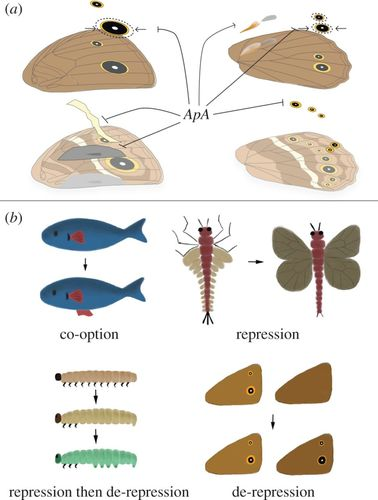 apterous A specifies dorsal wing patterns and sexual traits