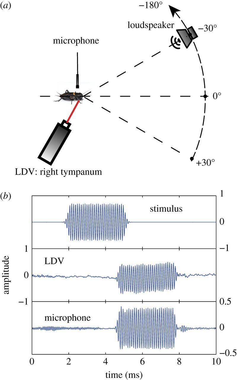 Frequency tuning and directional sensitivity of tympanal