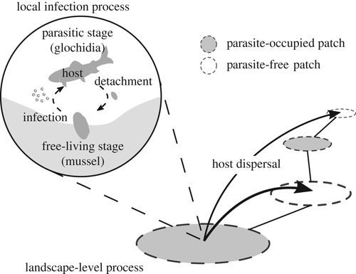 Parasite Infection Induces Size Dependent Host Dispersal