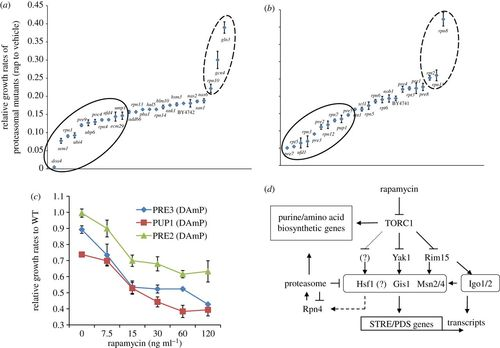 Synergistic effects of TOR and proteasome pathways on the