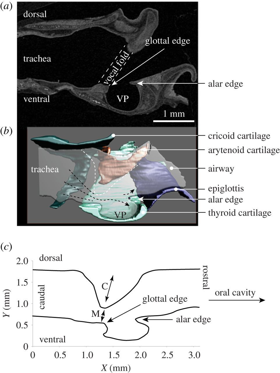 Laryngeal airway reconstruction indicates that rodent ultrasonic