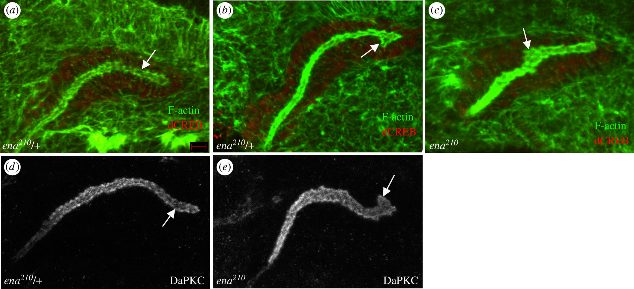 Regulators of cell movement during development and regeneration in