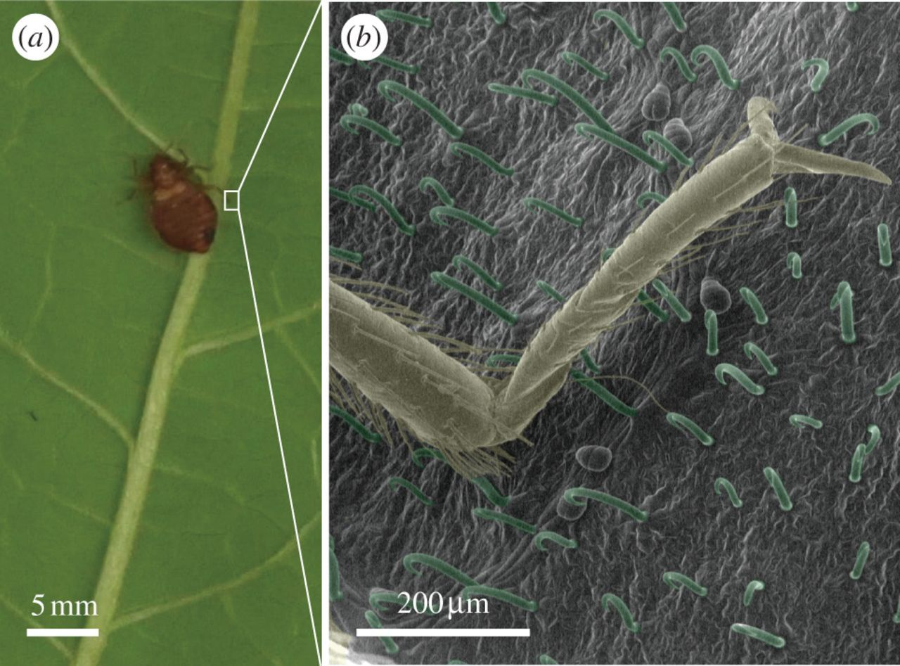 Entrapment of bed bugs by leaf trichomes inspires microfabrication