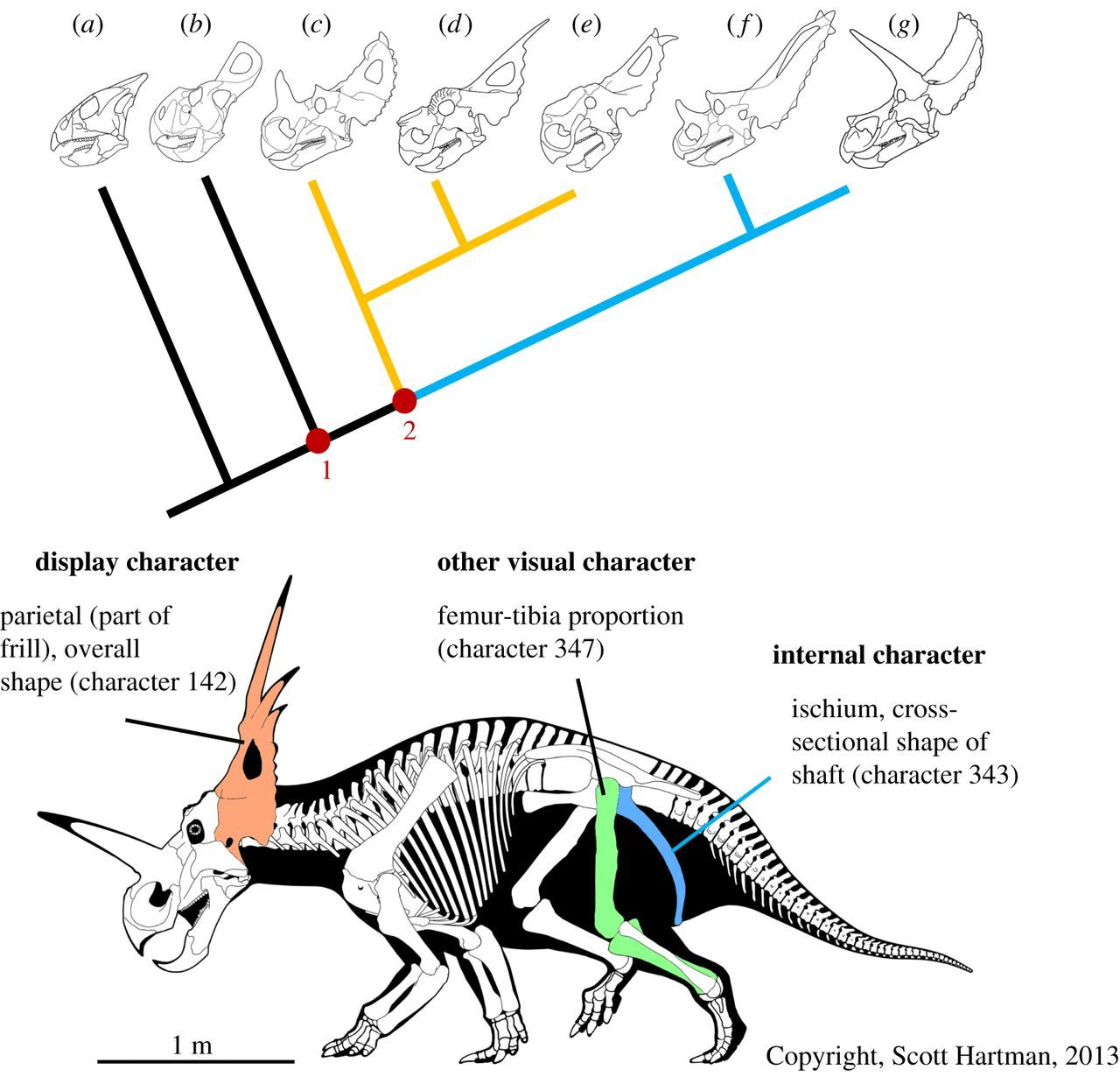 Patterns of divergence in the morphology of ceratopsian