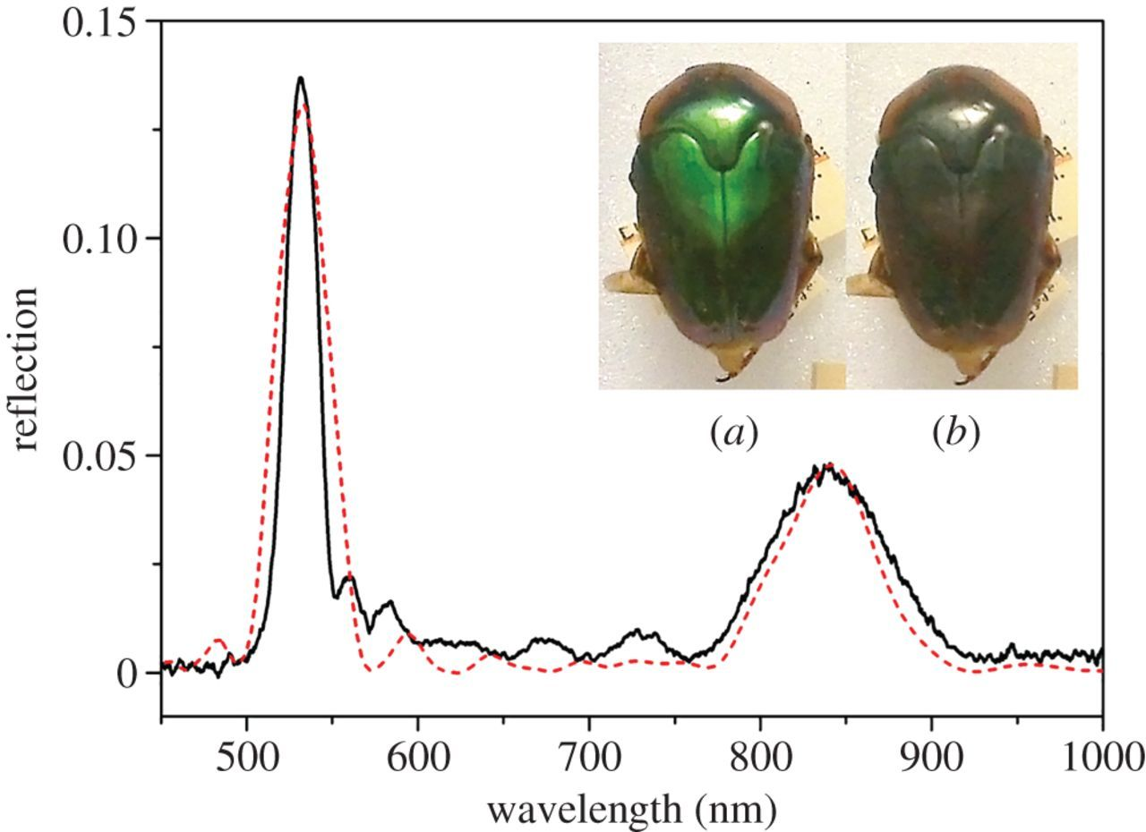 Variation In The Circularly Polarized Light Reflection Of I Beetle Diagram Related Keywords Suggestions Long Download Figure