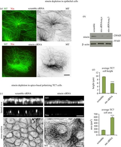 Ninein is essential for apico-basal microtubule formation