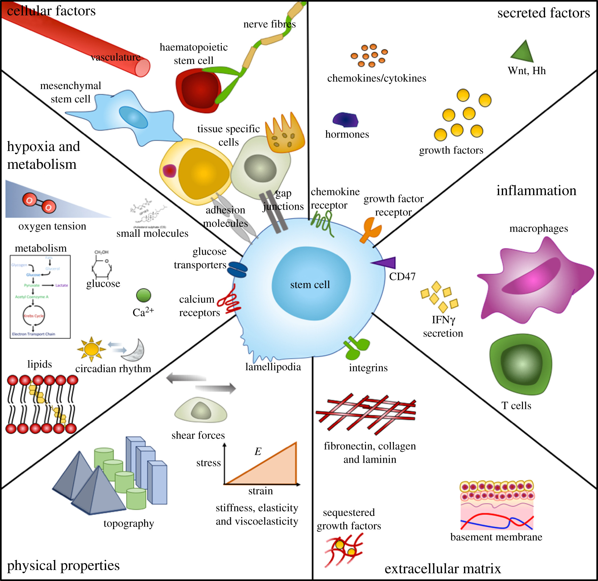 Designing stem cell niches for differentiation and self-renewal