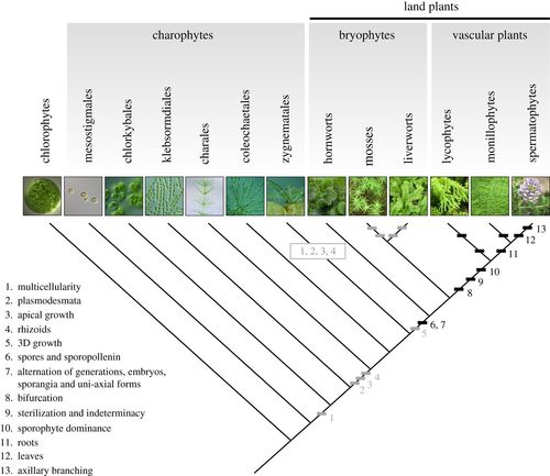 Development and genetics in the evolution of land plant body