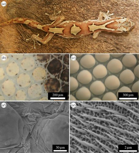 Removal mechanisms of dew via self-propulsion off the gecko