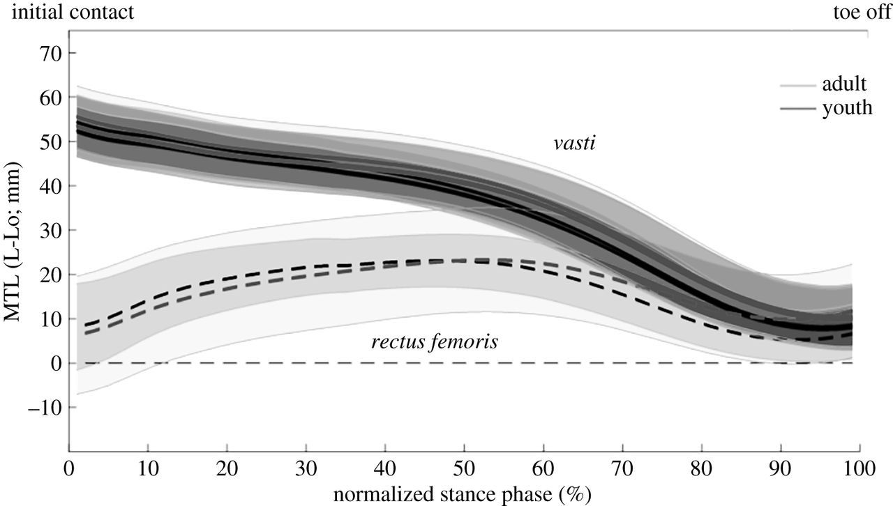 Muscle–tendon unit length changes differ between young and