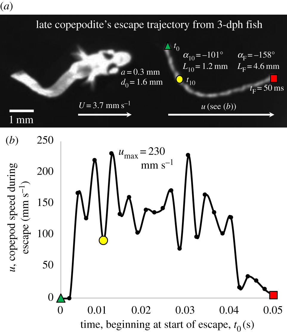 Going with the flow: hydrodynamic cues trigger directed escapes from