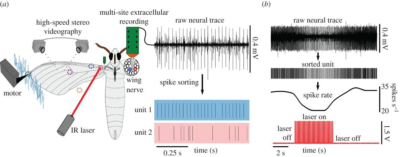 Neural evidence supports a dual sensory-motor role for