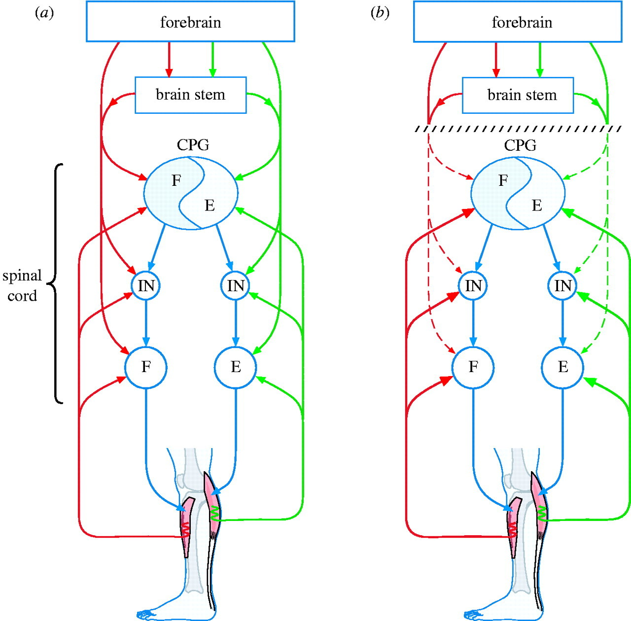 Plasticity of connections underlying locomotor recovery