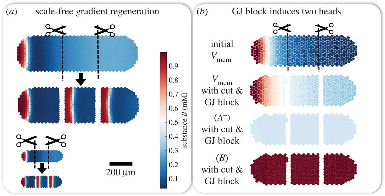 Bioelectric gene and reaction networks: computational modelling of