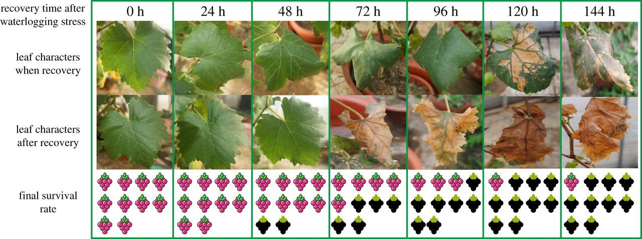 Analysis of the regulation networks in grapevine reveals