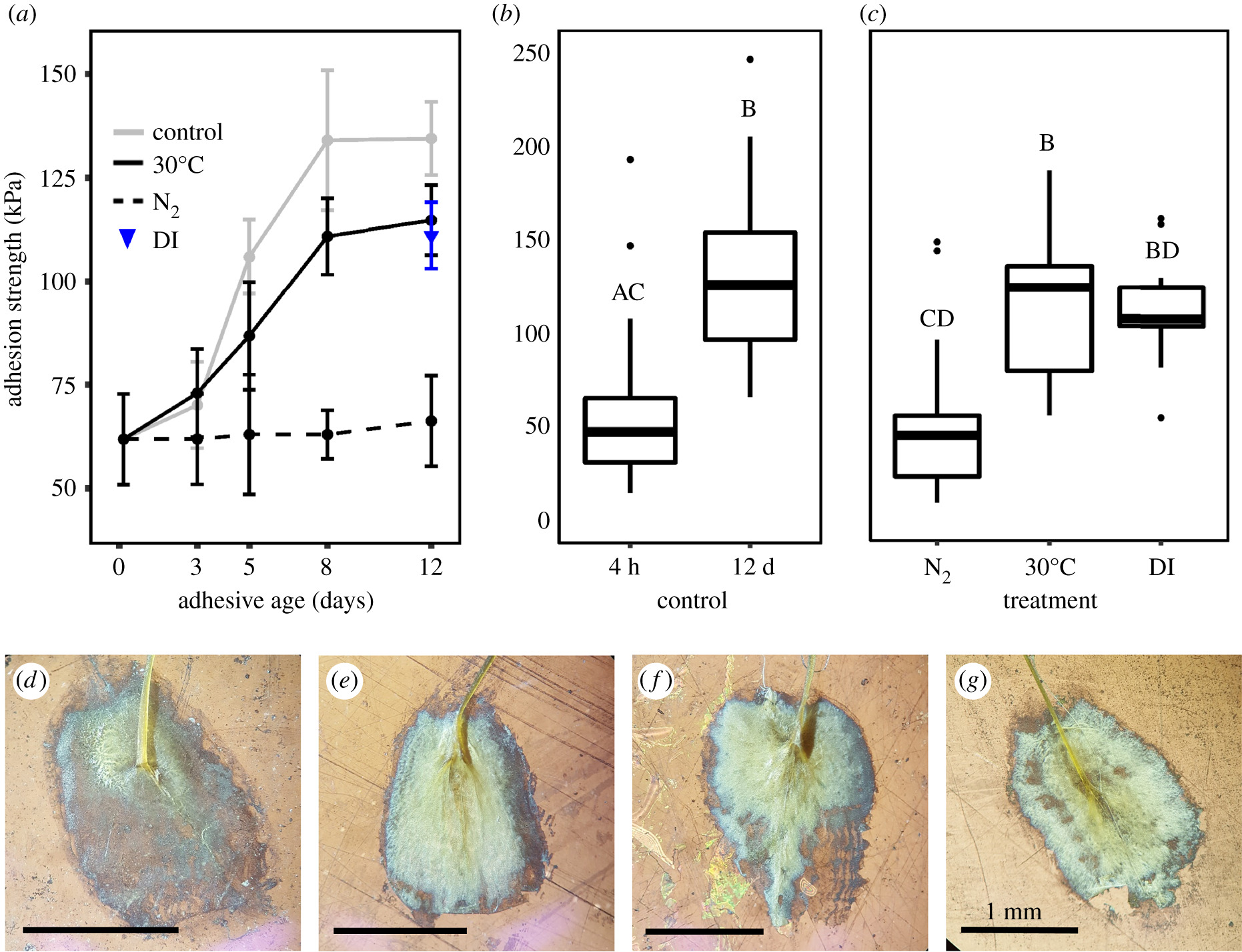 Hypoxia weakens mussel attachment by interrupting DOPA cross