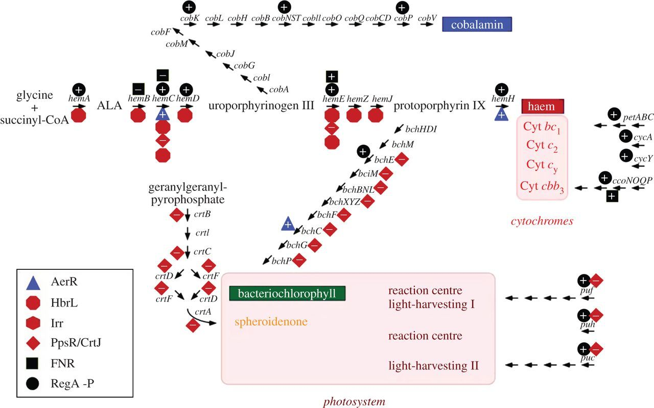 Controlling the delicate balance of tetrapyrrole biosynthesis