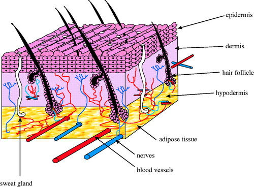 Tissue engineering of replacement skin: the crossroads of