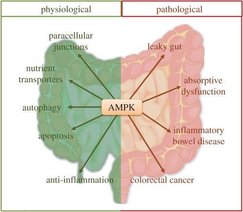 AMP-activated protein kinase: a therapeutic target in