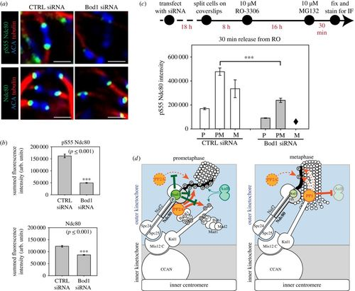 The Ndc80 complex targets Bod1 to human mitotic kinetochores