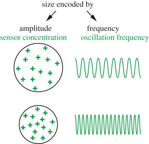Rhythmicity and waves in the cortex of single cells