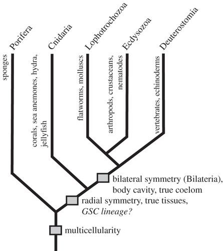 Evolutionary origins of germline segregation in Metazoa