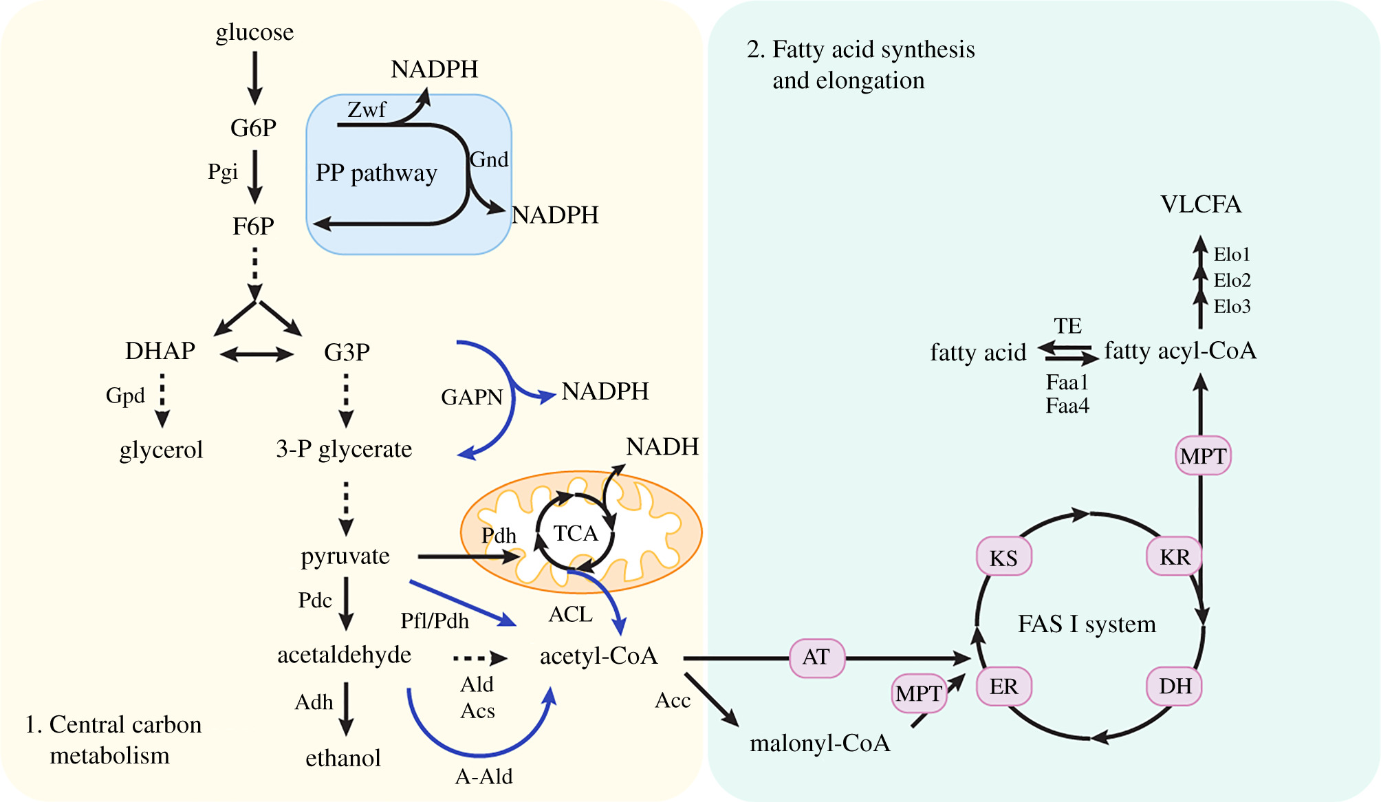Engineering Saccharomyces cerevisiae cells for production of